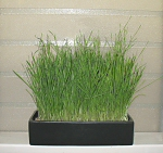 Bonsai Grass Garden on a window sill