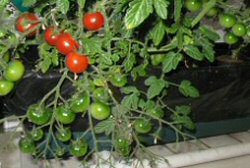 Floating Garden Vegetable Garden Kit_tomatoes