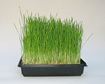 hydroponic lwheatgrass and pet grass growing kit
